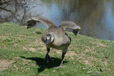 Angry older Canada Goose gosling trying to push away animal that has come too close for comfort Stock Photo