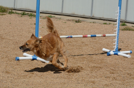 Mixed breed dg on agility course
