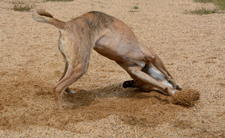 Save Download Preview Boxer mix dog kicking ip dirt-and mix after being watered down on hot summer day Imagens