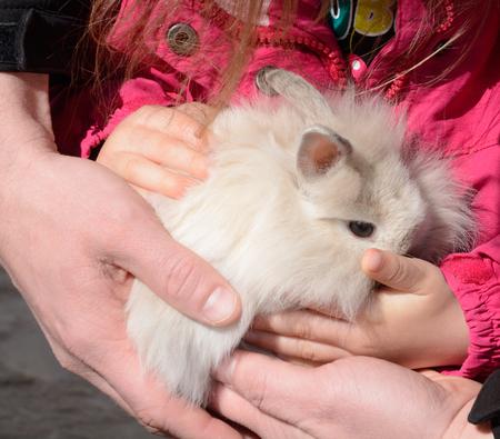 Baby Lionhead Rabbit (Oryctolagus cuniculus) Stock Photo