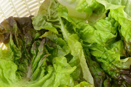 Freshly rinsed red leaf lettuce in salad spinner bowl Stock fotó
