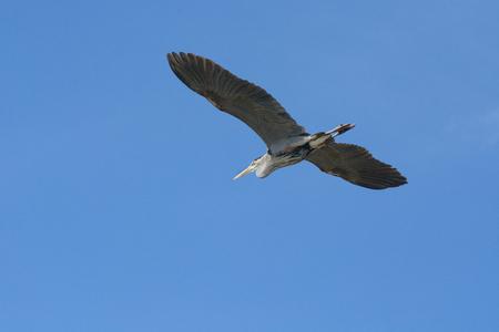 herodias: Great blue heron flying in blue sky Stock Photo