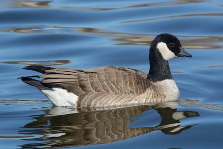 cackling: Cackling goose seimmng in lake