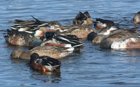 Northern Shoveler Ducks swiming in circle and eating Stock Photo