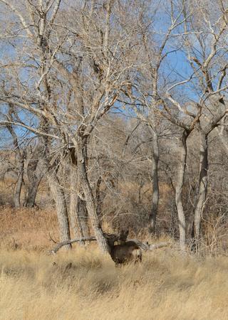 morrison: Mule deer grooming one anther in winter grove of trees