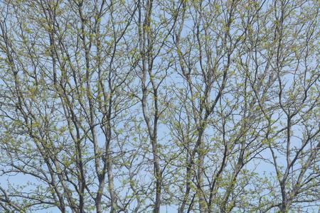新しい春葉裸の冬に新たな木の枝 写真素材