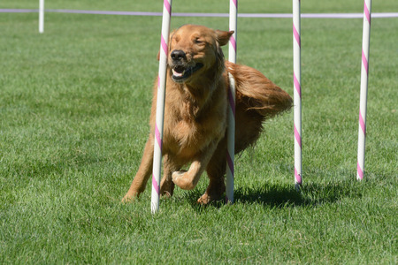 Golden retriever dog weaving through weave pols with huge smile on agility course