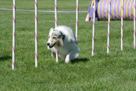 Older Australian Shepherd weaving through weave poles on dog agility course Stock fotó