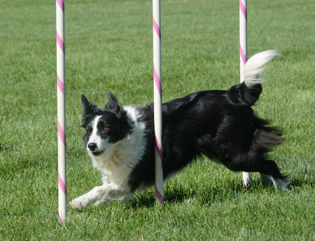 Border collie die door weefselpolen weven op hond behendigheid natuurlijk