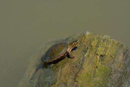 Baby western painted turtle climbing onto log floating in lake Stock Photo