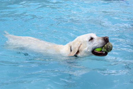 Pale almost white golden labrador retriever swimming in swimming pool with two tennis balls in the mouth Stok Fotoğraf