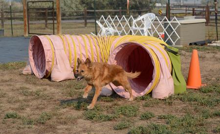 犬の敏捷のコースのトンネルを走っている混合された品種犬