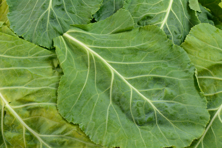 Close up of stack of leaves of raw collard greens Stock Photo