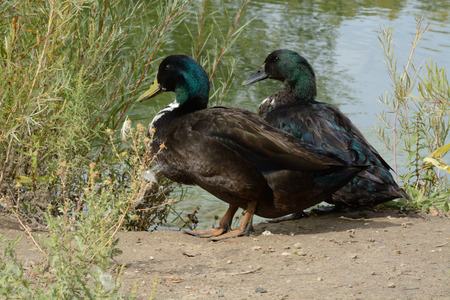 Two mixed breed duck drakes of Mallard and domestic duck possibly Swedish black and or Cayuga now living in the wild