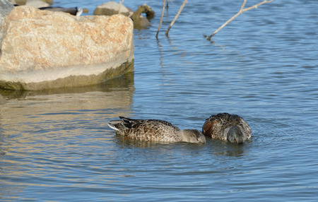 Northern Shoveler duck hen and drake in molting plumage swimming and eating together Stock Photo