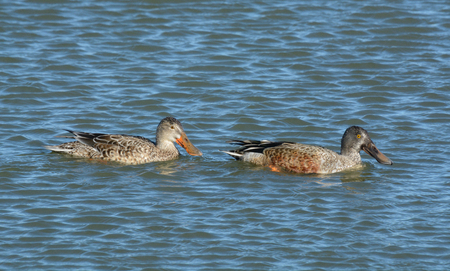 Northern Shoveler duck hen and drake in molting plumage swimming together
