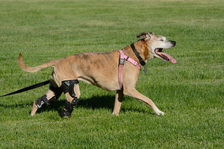 Happy active dog with two orthotic braces from CCL injuries excited to be out walking in field of grass Stock Photo