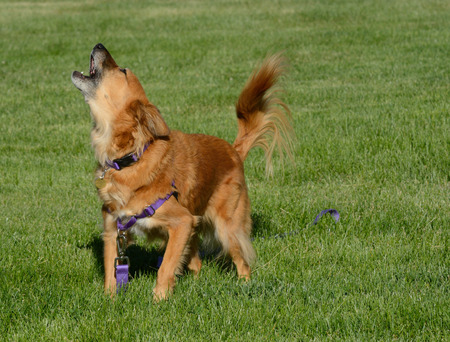Impatient sassy brown mixed breed dog barking in excitement to get owner to play