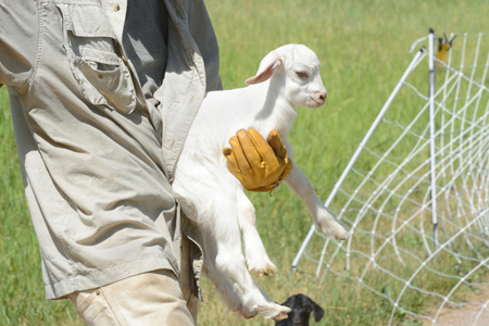 Goatherd carrying newborn baby goat kid left behind when moving herd from one pasture to the next