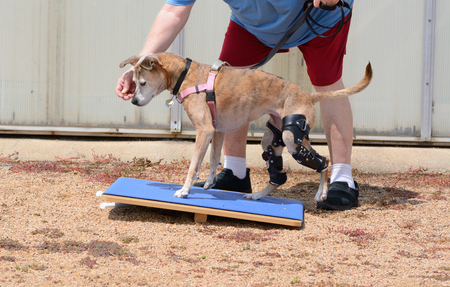 Dog Rehabilitation exercise on rocker board for dog with 2 orthotic braces for knee ligament injuries