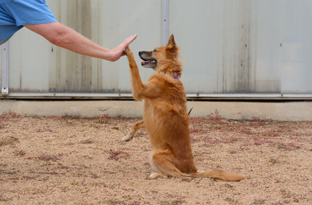 Brown mixed breed dog performing High Five dog trick to mans hand