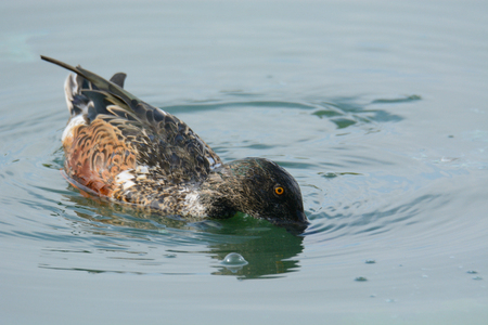 Northern shoveler duck Drake or anas clypeata in autumn plumage foraging head down for food by straining through bill Reklamní fotografie
