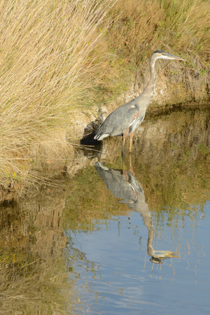 Great Blue Heron or Ardea herodias fishing in stream by bank covered by autumn grasses and vegetation