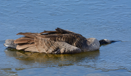 Dead Canada goose or branta canadensis carcass resting on ice of winter lake Reklamní fotografie
