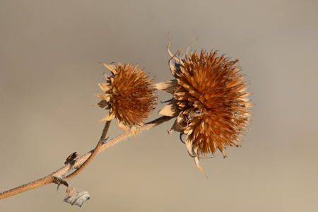 Dried dead brown winter wildflower thistles against light brown background