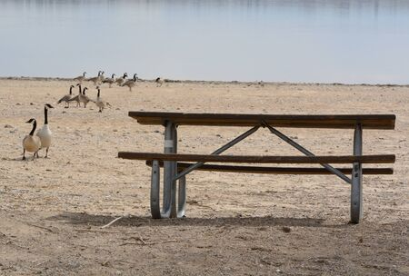 Humorous hungry Canada geese waiting and approaching empty picnic table on lake beach shore 写真素材