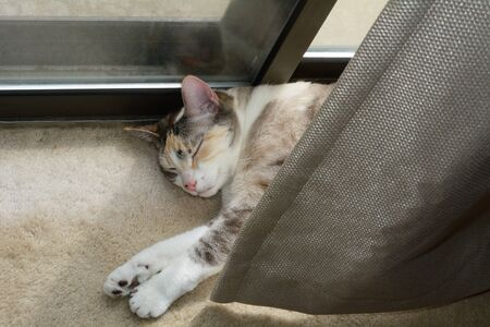 Indoor calico cat sleeping and sunbathing in warmth of sunlight behind curtain next to sliding glass doors