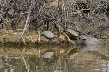 Red eared slider and western painted turtles sunbathing on island just starting to show new spring green growth in middle of lake with reflections