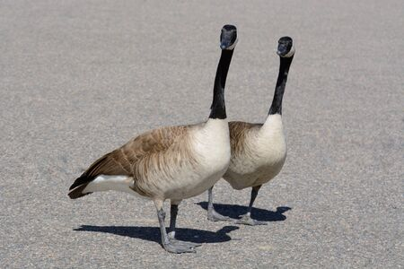 Canada goose bonded pair acting in unison with two minds thinking and acting alike 写真素材