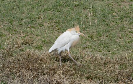 Western cattle egret or Bubulcus ibis with breeding plumage on lake shore with new spring vegetation just starting to cover ground