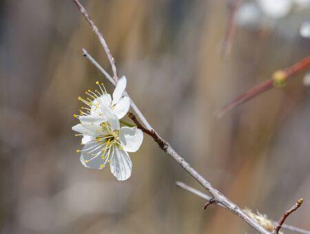 White spring cherry plum or Prunus cerasifera flower