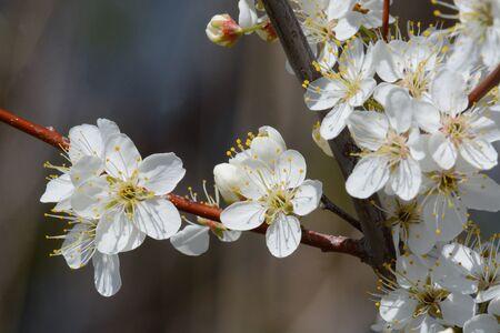 White spring cherry plum or Prunus cerasifera flowers blossoming in early springtime