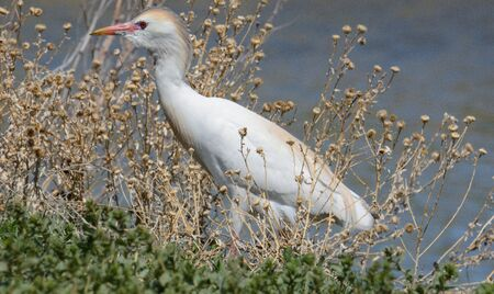 Western cattle egret or bubulcus ibis searching for insects in brush on lake shore 写真素材