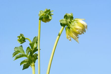 White Dahlia flower buds in stems just opening against blue sky