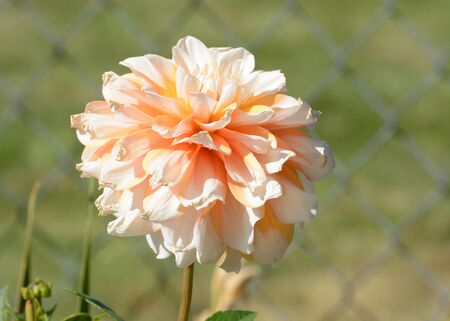 Peach colored dahlia flower in garden with chain link fence background