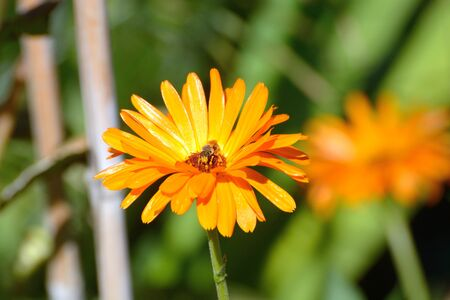 Bee with face full of yellow pollen while collecting pollen from calendula marigold flower