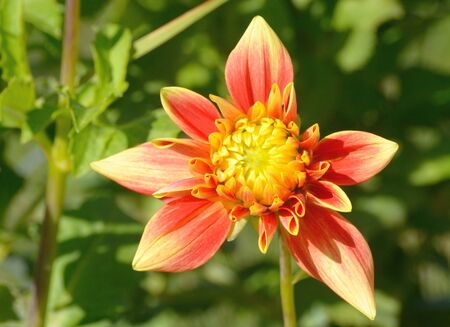 Yellow and red dahlia flower blooming in garden among green leaves