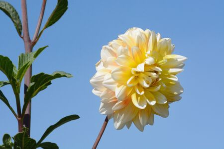 White dahlia flower blossom with green leaves against blue sky