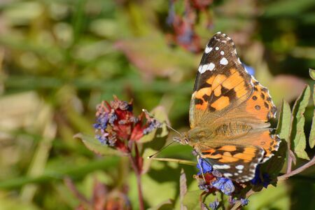 Painted Lady Butterfly or Vanessa cardui on fading autumn blue leadwort flowers or Ceratostigma plumbaginoides