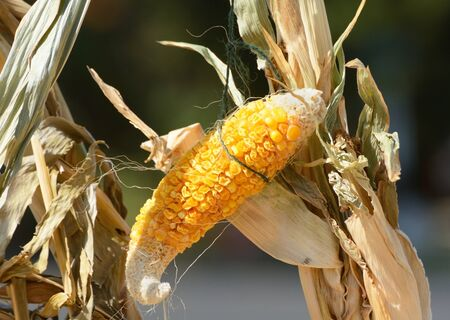 Autumn harvest Halloween decoration of ear of corn drying out on corn stalk 写真素材