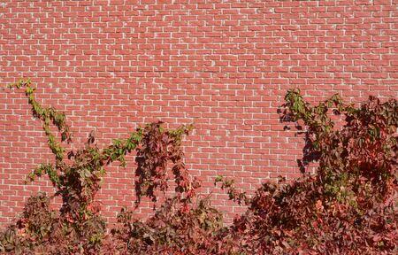 Autumn virginia creeper vine or Parthenocissus quinquefolia climbing up brick wall 写真素材