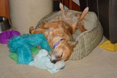 Sleeping mixed breed brown dog sprawled out in back sleeping in dog bed in home surrounded by dog toys
