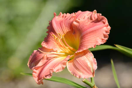 Closeup of blooming pink and yellow daylily flowers with stamens and buds