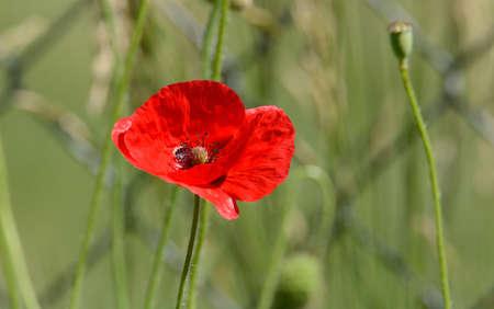 Close up of one red poppy flower in bloom in garden