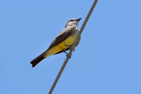 Western kingbird bird or Tyrannus verticalis perched on on power line against clear blue sky Archivio Fotografico