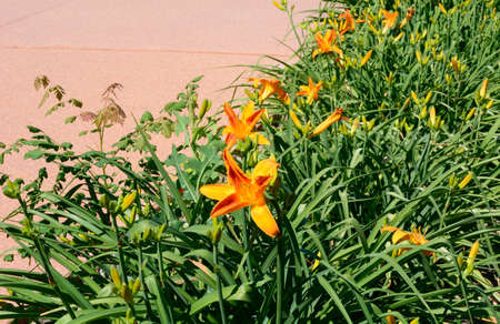 Garden bed of daylily flowers and bugs on edge of sidewalk Archivio Fotografico